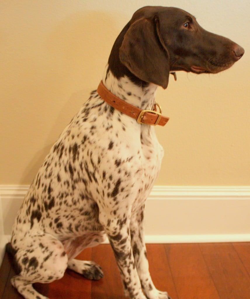 Dog- German Short-Haired Pointer- Dog Silhouette Art