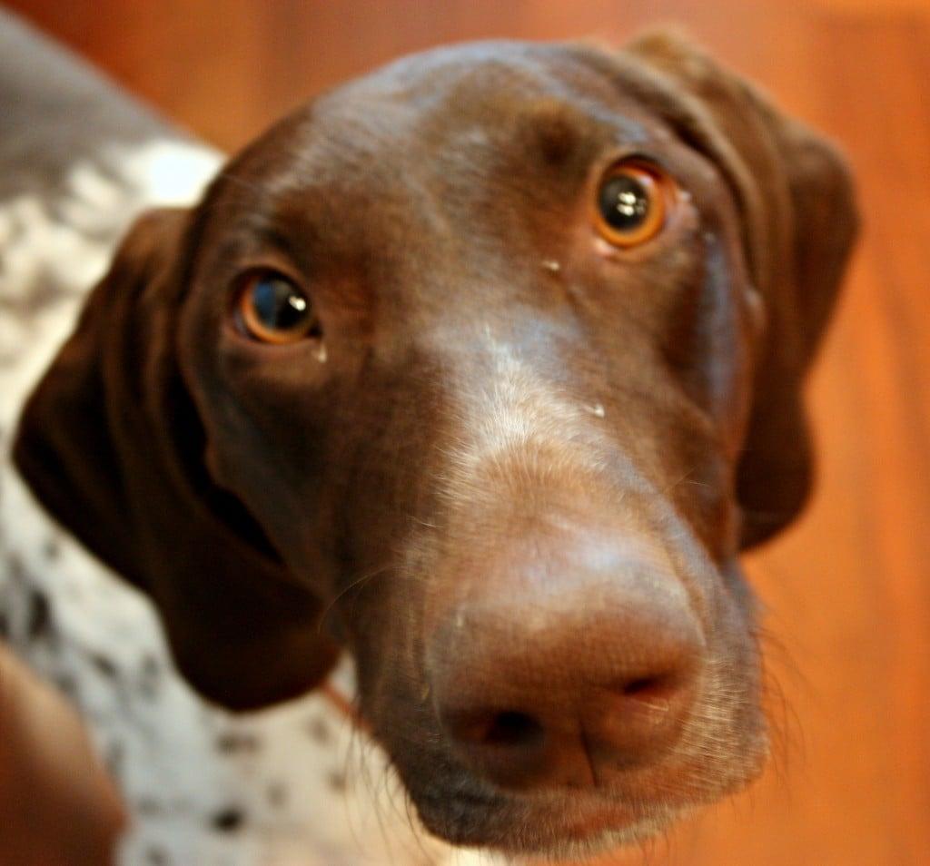 Dog, German Short-haired Pointer