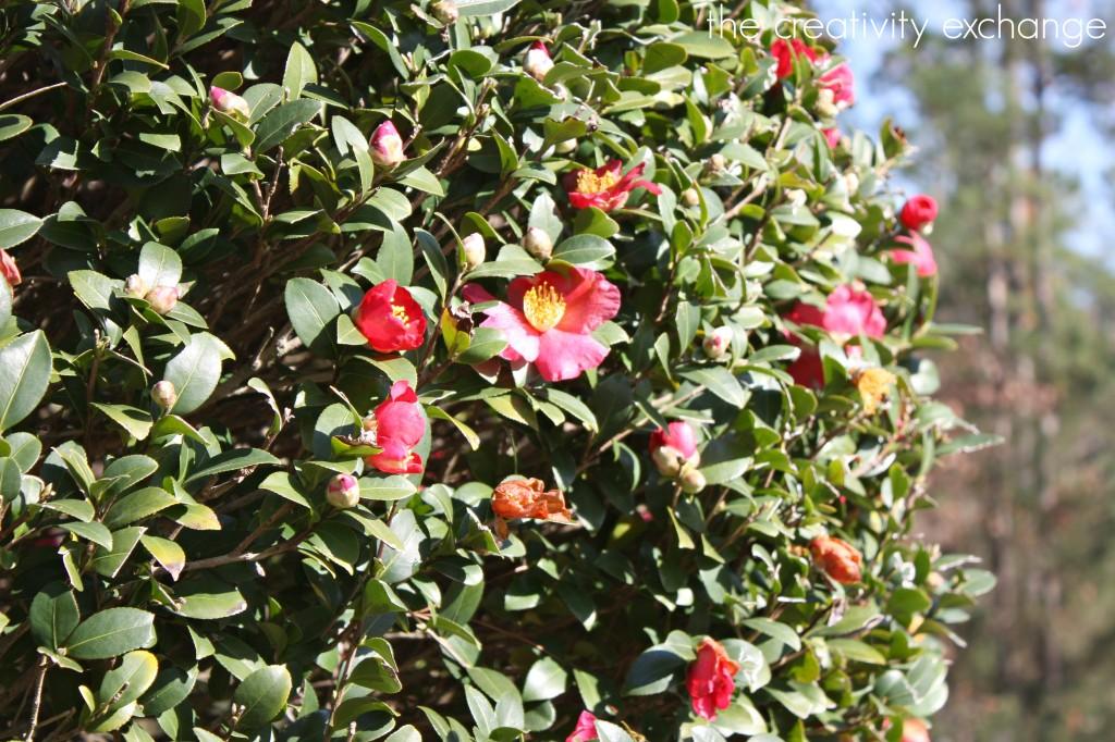 Christmas Camellia Bush- Christmas Tour of Homes {The Creativity Exchange}