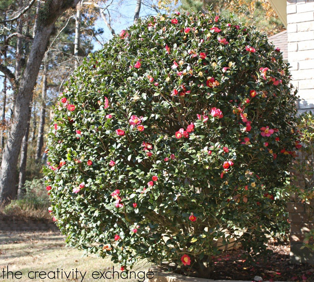 Christmas Camellia Bush-Blooms in the south during Christmas {The Creativity Exchange}