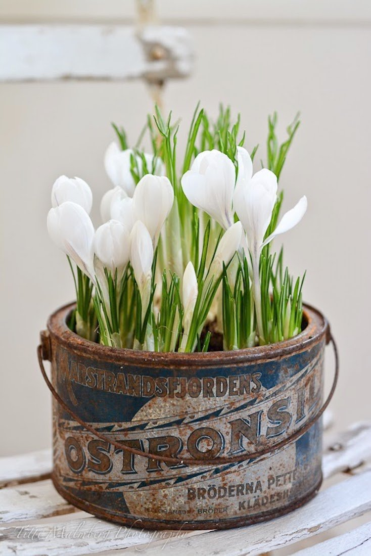 Bucket of Crocuses