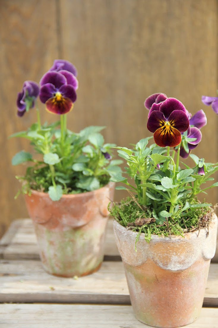 Clay Pot Pansies