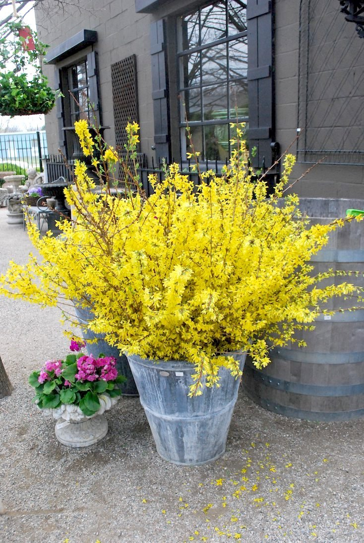 Potted Forsythia