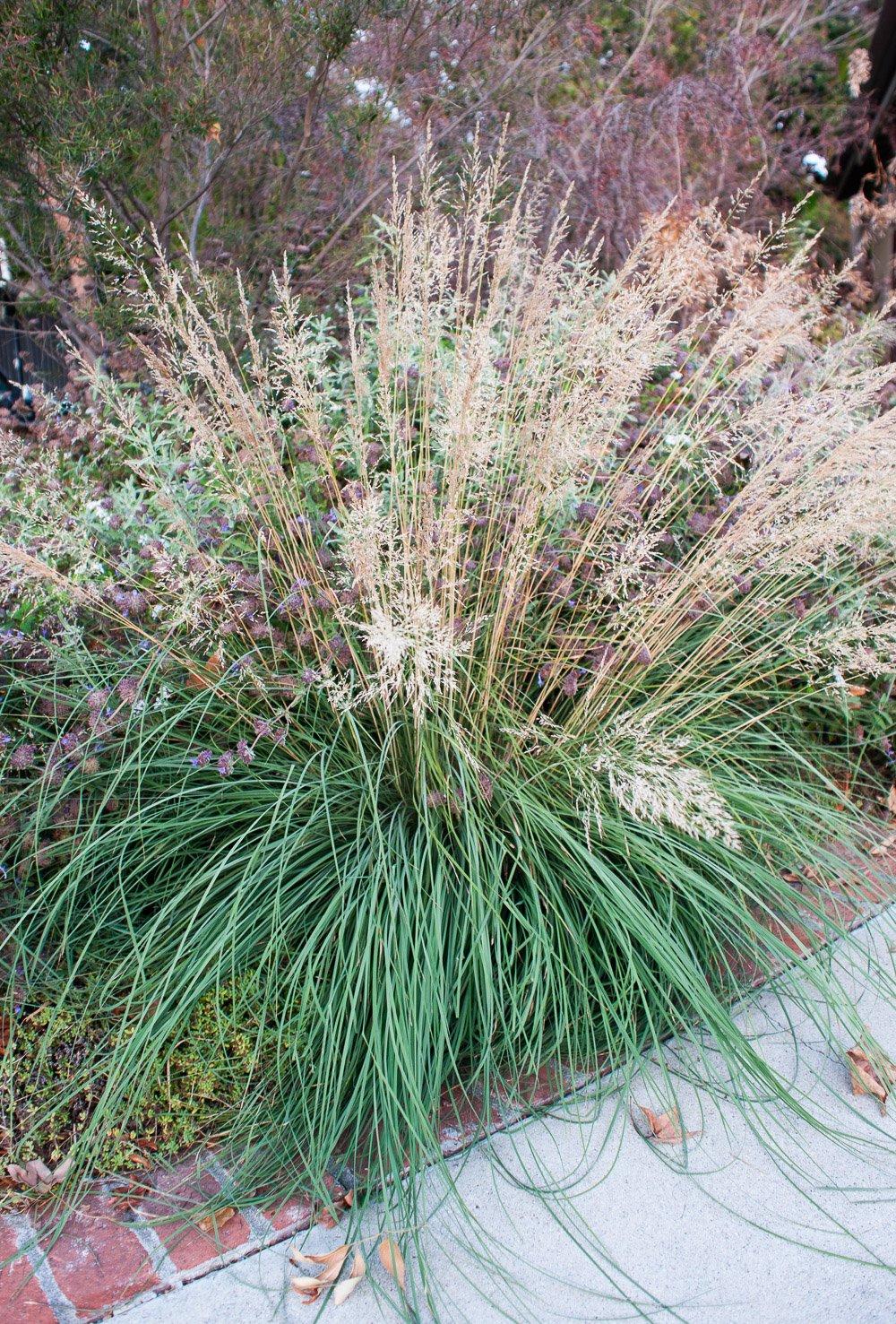 Beautiful ornamental grass