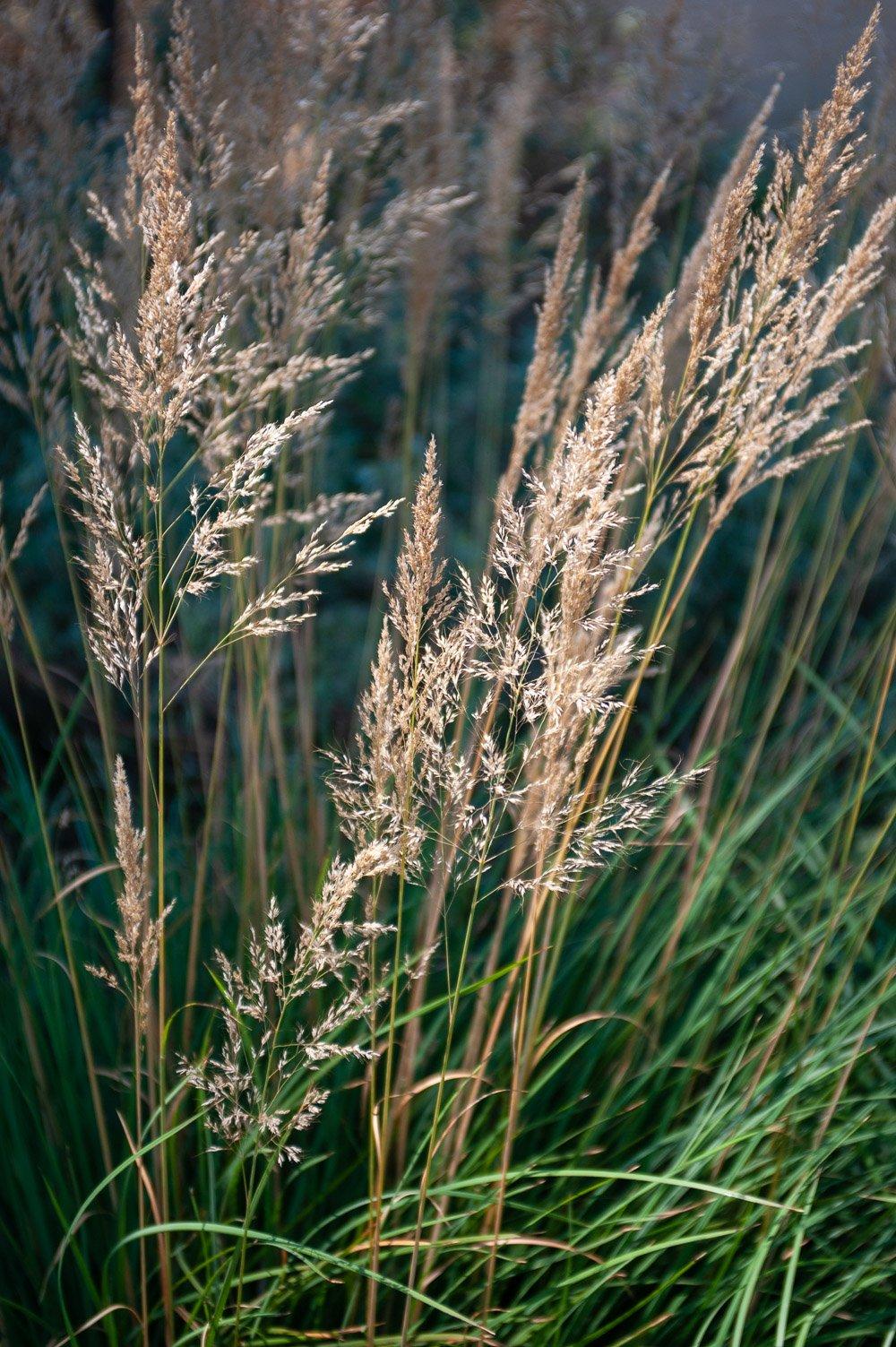 Beauty of ornamental grass
