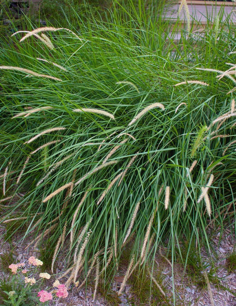 California native grass