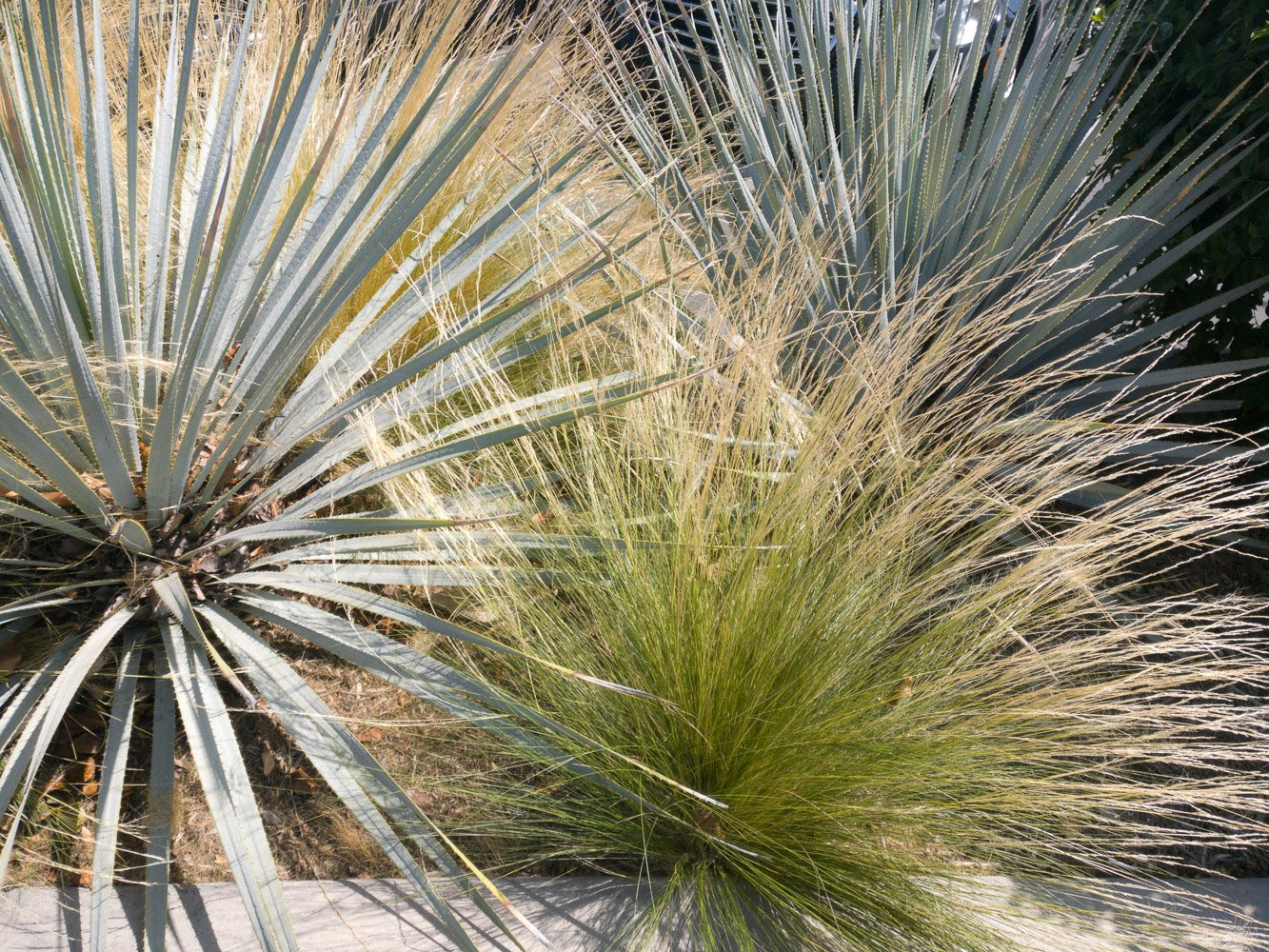 Mexican Feather Grass, Mexican Needle Grass, Pony Tails