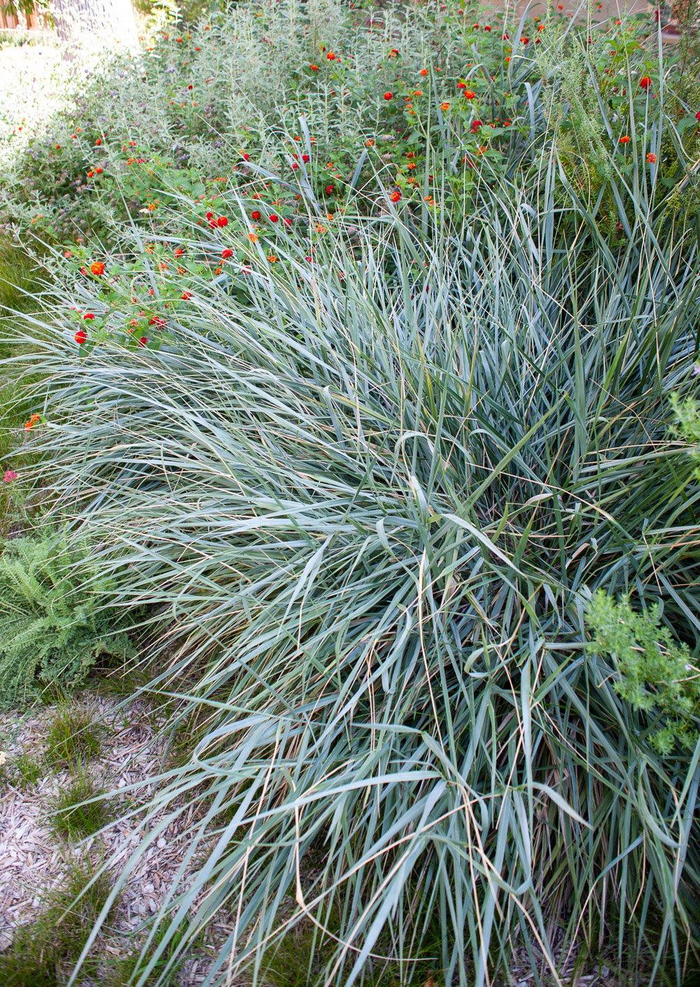 Giant rye ornamental grass