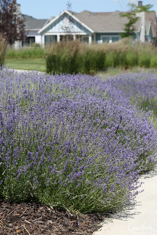 Lavender in the border