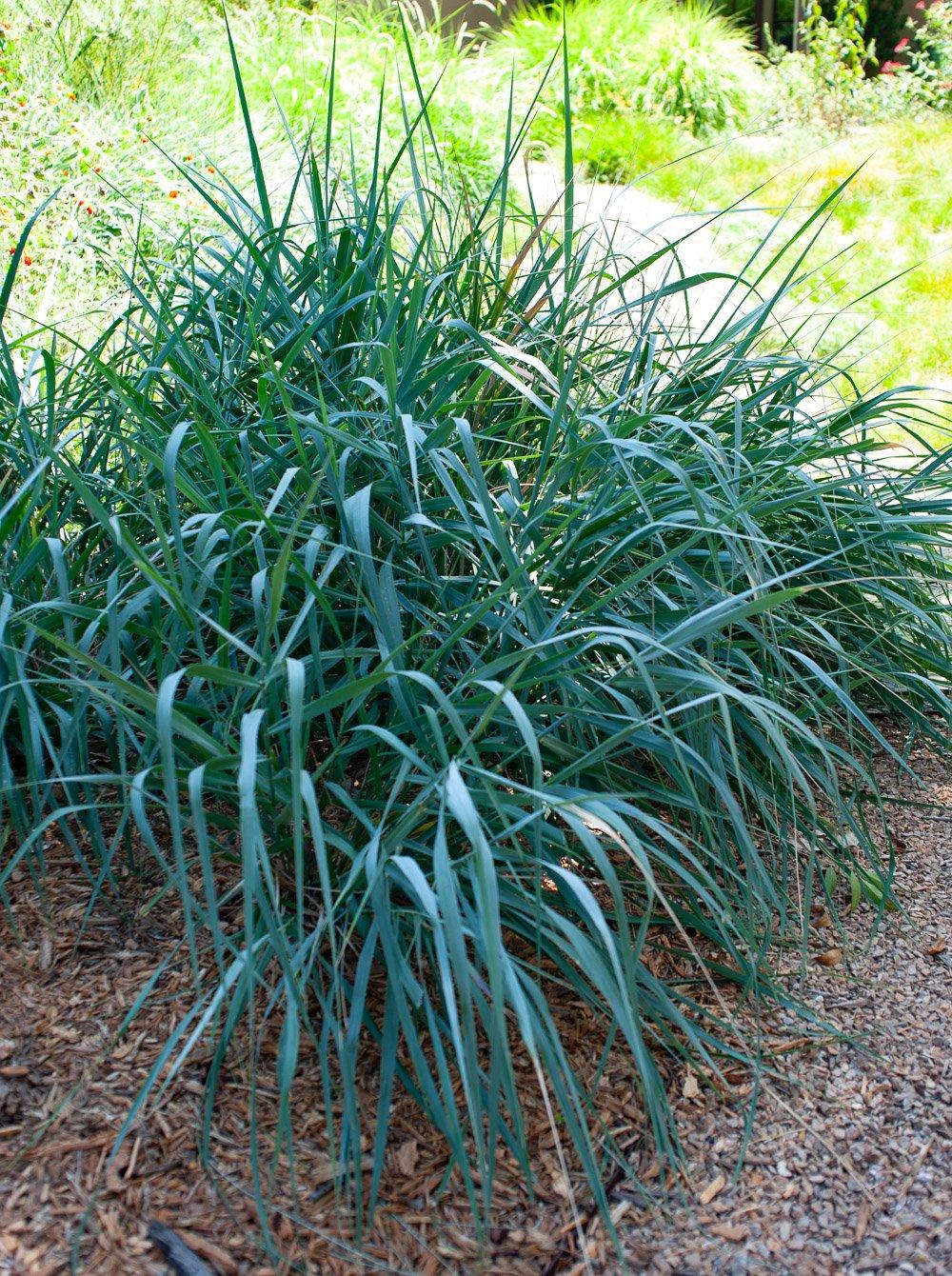 Sedge or Carex