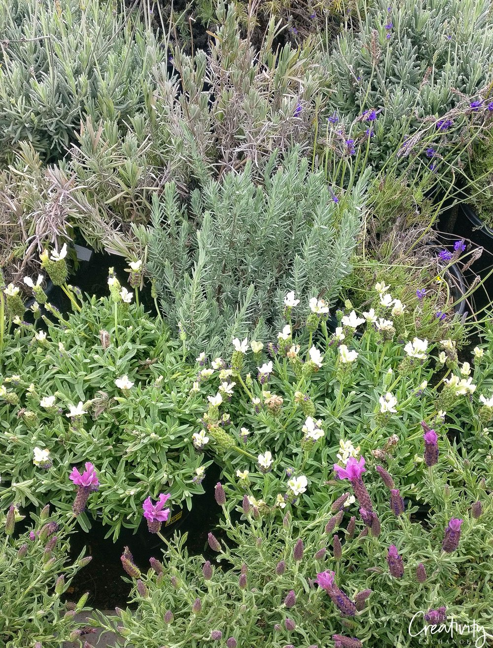 Many different lavenders