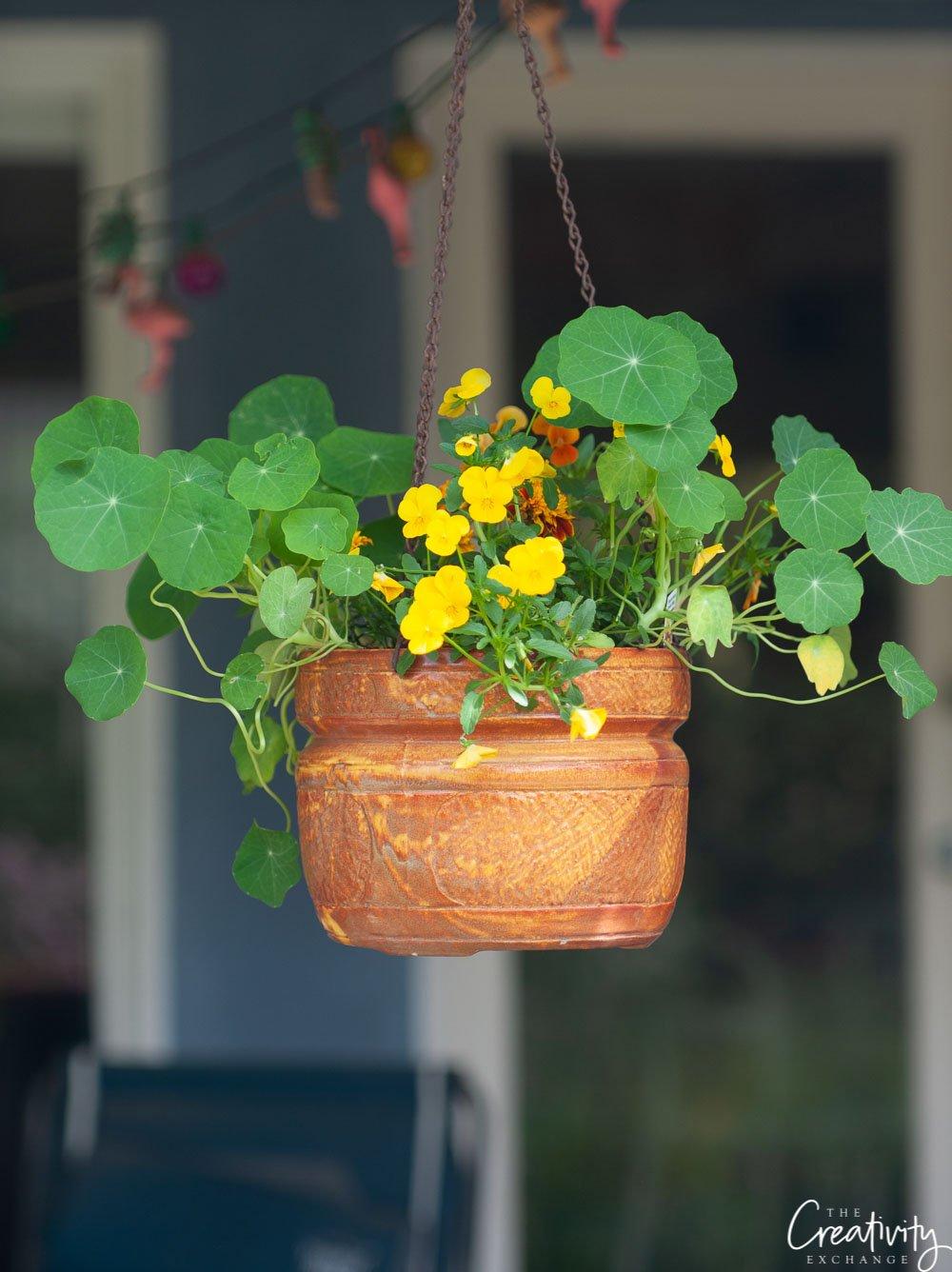 Hanging pot with nasturtiums